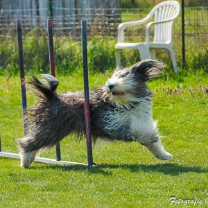 bearded collie elli slalom